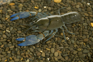 Blue claw yabby at aquarium store