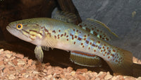 Purple Spotted Gudgeon