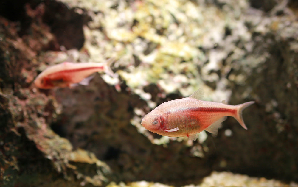 Blind cave tetra live aquarium fish