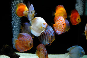 Large group discus fish live aquarium fish