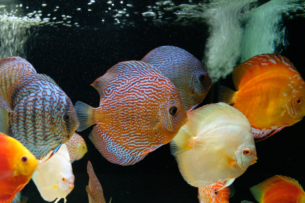 Amazing discus fish school