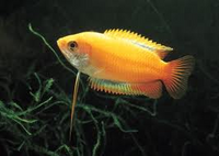 Golden Honey Gourami