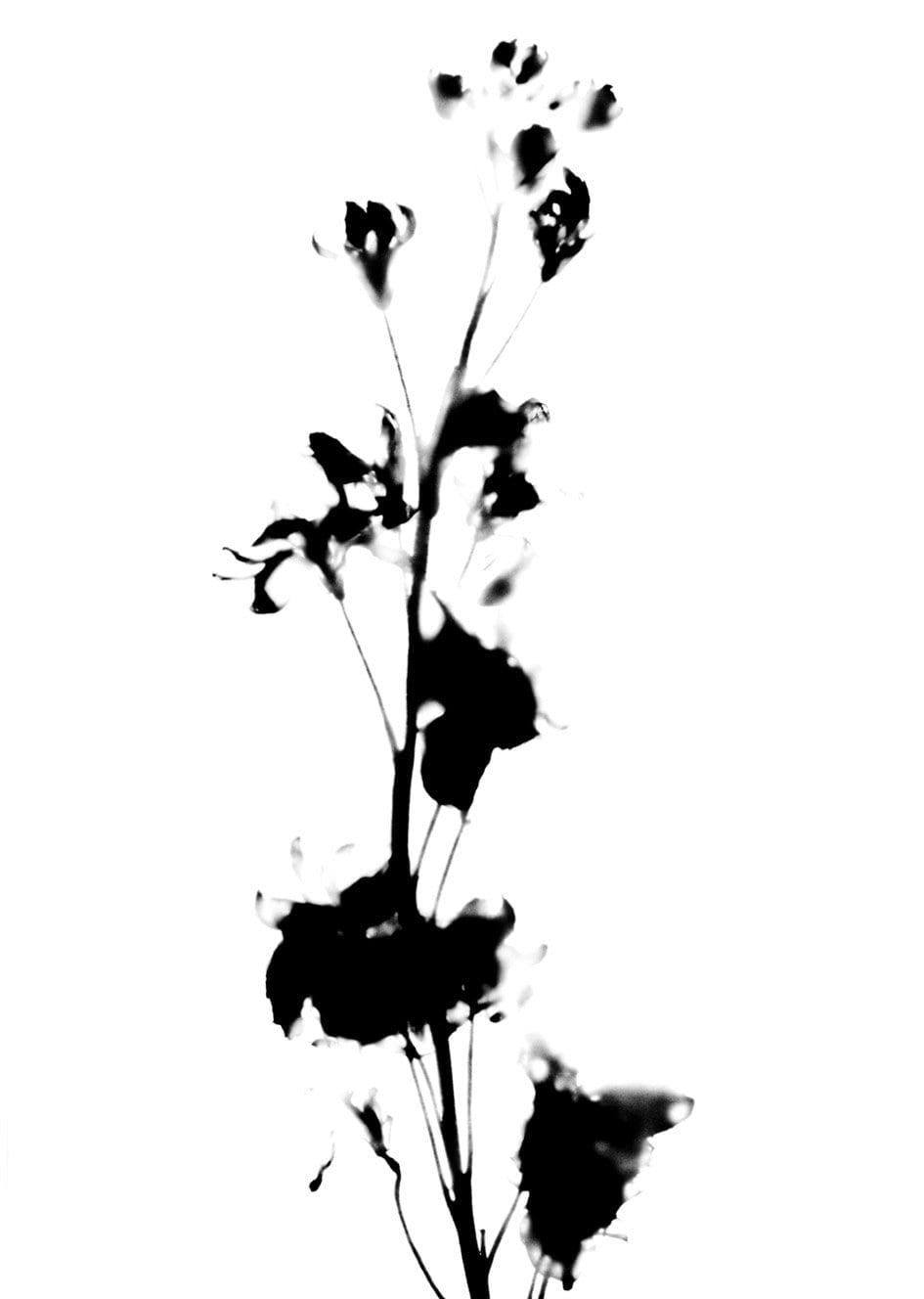PRESSED LINARIA FLOWER STEM II