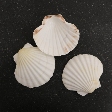 Sea Scallop Shells