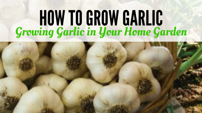 How to Grow Garlic: Growing Garlic in Your Home Garden