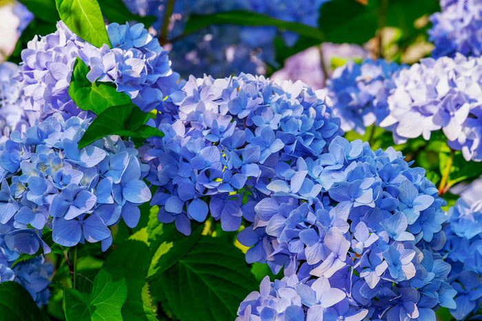 "Growing Home Ep. 13- Don't Be a ""Strangea"" to Hydrangeas"
