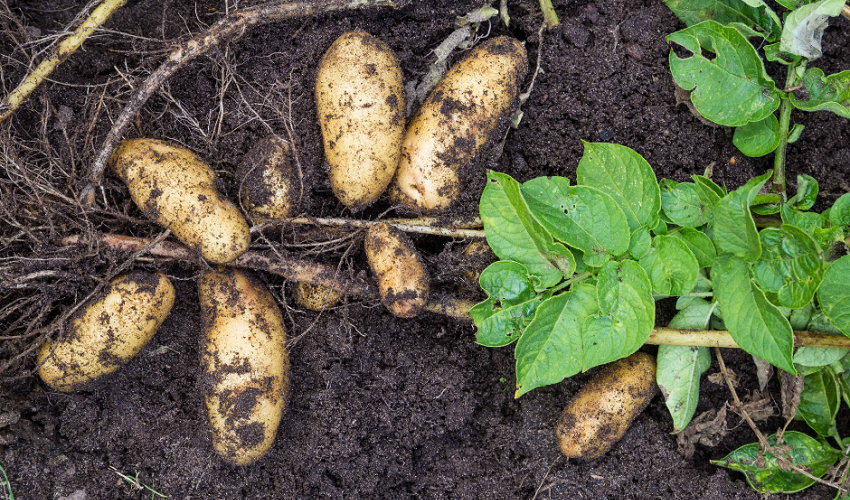 Growing Home Ep. 7 - Digging Into Potatoes with Terry Therrien & Len Giddix