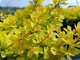 Barberry, WorryFree Lemon Glow Barberry