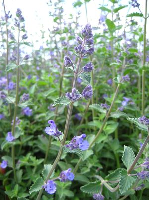 Catmint, Walkers Low Catmint