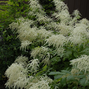 Goatsbeard, Brides Feathers