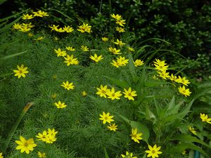 Tickseed, Coreopsis verticillata Moonbeam, Moonbeam Threadleaf Tickseed