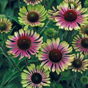 Green Twister Coneflower, Echinacea Purpurea `Green Twister`