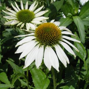 Happy Star Coneflower, Echinacea Purpurea `Happy Star`