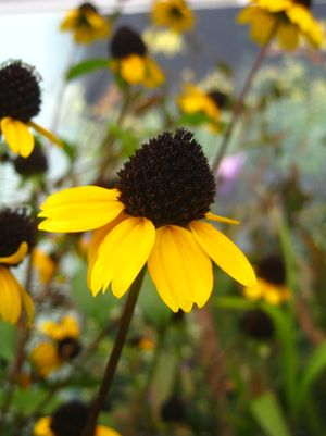 Black Eyed Susan, Rudbeckia triloba Three Lobed Black Eyed Susan