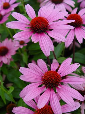 Ruby Star Coneflower, Echinacea Purpurea `Ruby Star`