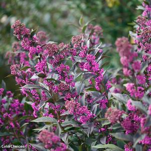 Beautyberry, Callicarpa x Pearl Glam, Pearl Glam® Beautyberry