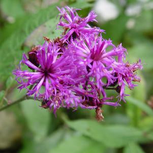 Ironweed, New York Ironweed (Vernonia noveboracensis)