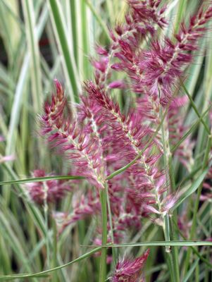 Grass, Karley Rose Fountain Grass (Pennisetum Orientale `Karley Rose`)