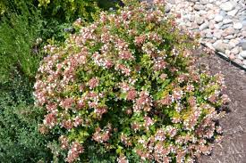 Abelia, Rose Creek Abelia