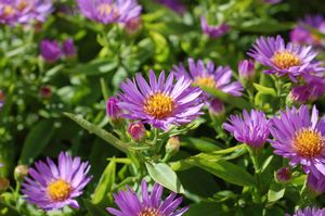Aster Woods Purple, Woods Purple Aster
