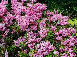 Mountain Laurel, Nipmuck Mountain Laurel