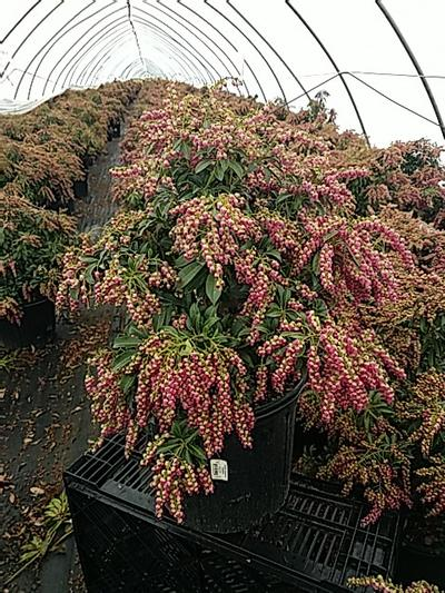 Passion Andromeda - Pieris Japonica