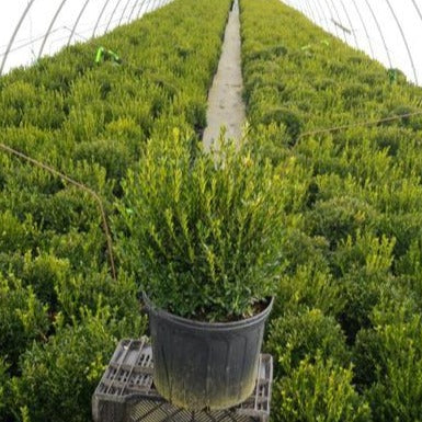 Justin Brouwers Boxwood - Buxus Sinica v. Ins. Justin Brouwer