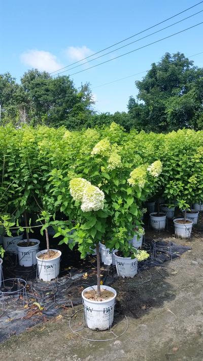 Limelight Panicle Hydrangea -Tree Form