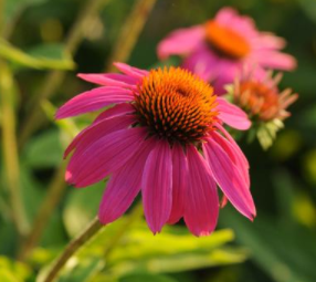 Echinacea Pow Wow® Wildberry, Pow Wow® Wildberry Coneflower