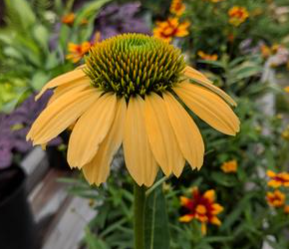 'Mellow Yellows' Coneflower, Echinacea Purpurea `Mellow Yellows`