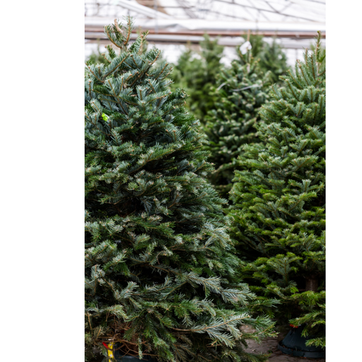 Fresh Cut Christmas Tree (5 sizes)