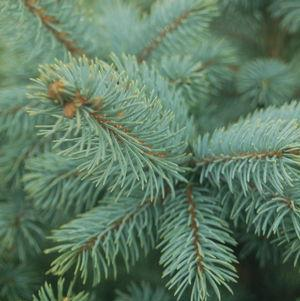 Tree, Baby Blue Blue Spruce w Red Holiday Pot