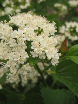 Viburnum Dentatum Christom - Blue Muffin® Arrowwood Viburnum