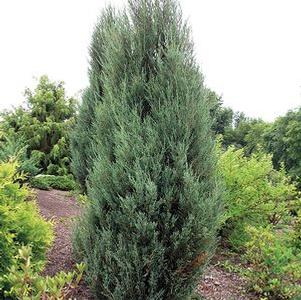 Blue Arrow Eastern Red Cedar - Juniperus Virginiana Blue Arrow