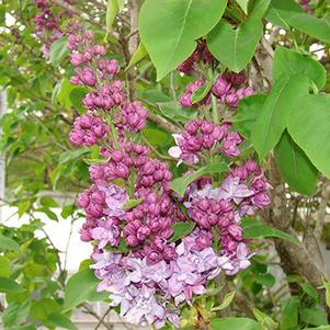 Equinox Valley Lilac