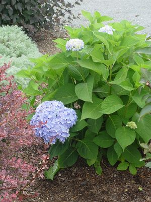 Endless Summer® The Original Hydrangea, Hydrangea mac. Endless Summer® The Original ('Bailmer')