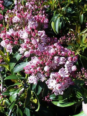 Mountain Laurel, Carousel Mountain Laurel (Kalmia lat. Carousel)