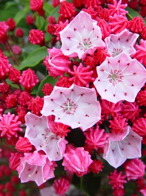 Mountain Laurel, Nathan Hale Mountain Laurel (Kalmia lat. Nathan Hale)