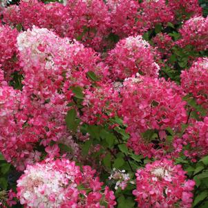 Hydrangea Diamond Rouge® Panicle