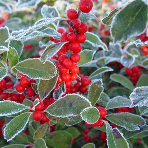 Winterberry, Winterberry Holly
