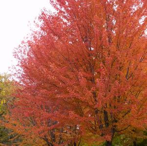 Acer x freemani Autumn Blaze® ('Jeffersred') Autumn Blaze® Freeman Maple