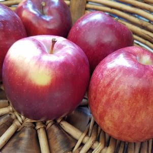 Apple, Empire (Malus Empire)