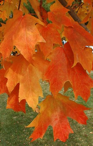 Acer saccharum Fall Fiesta Fall Fiesta Sugar Maple