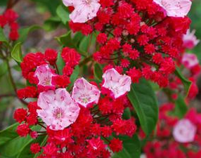 Kalmia lat. 'Firecracker' Firecracker Mountain Laurel