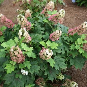 Jetstream™ Oakleaf Hydrangea, Hydrangea quercifolia Jetstream™