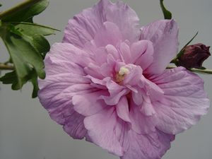 Hibiscus syriacus Lavender Chiffon® ('Notwoodone') Lavender Chiffon® Rose of Sharon