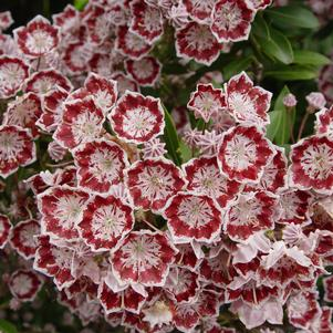 Kalmia Minuet Mountain Laurel
