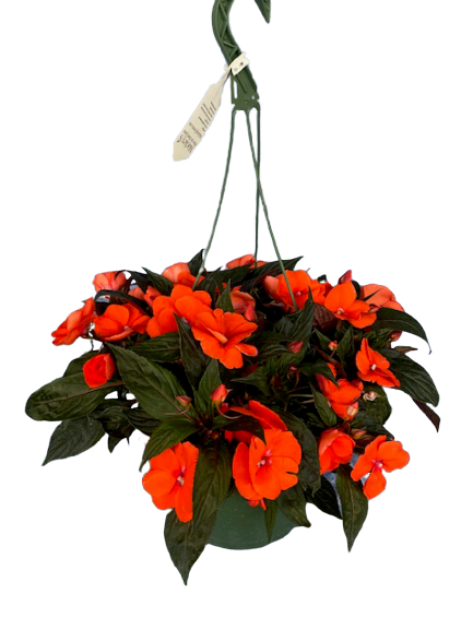 "10"" New Guinea Impatiens Hanging Basket"