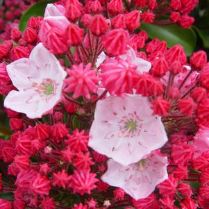 Mountain Laurel, Olympic Fire Mountain Laurel (Kalmia lat. Olympic Fire)
