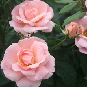 Rosa Peachy Knock Out® ('Radgor') The Peachy Knock Out® Rose